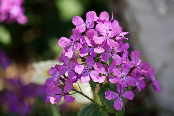pb-rose-geranium-