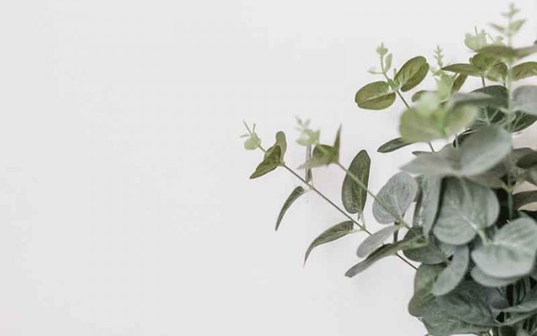 Eucalyptus-Australiana-Essential-Oil