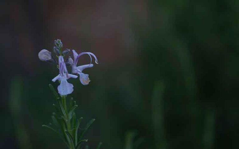 Rosemary-Geranium